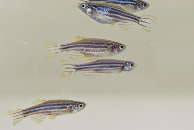 Close-up view of zebrafish
