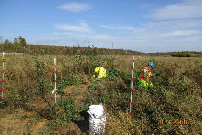 Researchers plant willows in a field