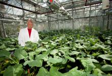 Researcher is surrounded by green leaf plants inside a greenhouse