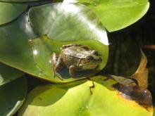 Green frog on a large leaf